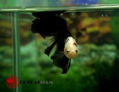 BLACK KOI HALFMOON GIANT male betta (VERY RARE TYPE) - 1604011