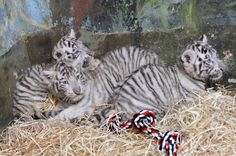 Eight-week-old white tiger (Panthera tigris) cubs are seen after a medical examination by veterinary surgeons at Bratislava Zoo February 8, 2013. Three white tigers, a male named Adzaj and two females Adisa and Asira were presented to the media for the first time on Friday. REUTERS/Radovan Stoklasa (SLOVAKIA - Tags: ANIMALS SOCIETY