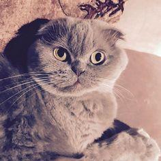 Snuggle time!  #meecheebomb #purplecat #cutenessoverload #cats #catsofinstagram #lilaccat #scottishfold