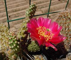 Opuntia fragilis cv freiberg Cacti And Succulents, Planting Succulents, Prickly Pear Cactus, Trees To Plant, Flora, Container, Diy Projects, Gardening, Colours