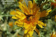 #Flor #amarilla #Abeja #Polen
