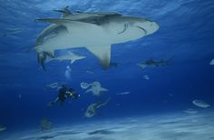 Shark dives in crystal waters on the #Bahamas