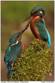 A pair of Kingfisher birds.