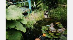 Guldfiskarna har också semester - på vintern bor de i ett akvarium på Norrbottensteatern. Katten Snuva lyckas fånga två eller tre simmare varje sommar. Till hösten finns förhoppningsvis nya yngel att fiska upp. | Bild: Erik Simander
