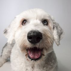 Ella, a 5-year-old Olde English Sheepdog. Unexpected Tail: $2,340 for surgery to correct her hind limb lameness