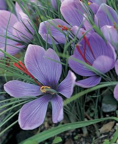 Saffron crocus (Crocus sativus) This is the most expensive spice in the world, and you can grow it. Saffron Plant, Buy Saffron, Saffron Crocus, Saffron Flower, Crocus Bulbs, Spice Garden, Planting Bulbs, Planting Flowers, Lilac Flowers