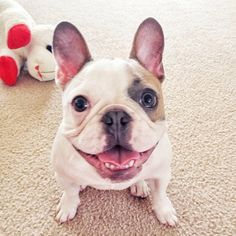 French Bulldogs, Make Me Smile, Boston Terrier, Amazing, Face, Funny, Animals, Boston Terriers, Animaux