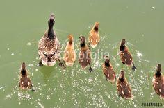 germano reale femmina con anatroccoli nuotano su superficie acqua