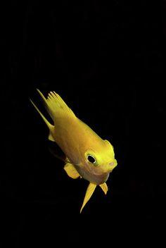 Golden Damsel Fish Photograph  - Golden Damsel Fish Fine Art Print