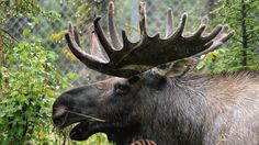 'Moose Sex Project' aims for love corridor between N.S., N.B.  Conservation group hopes small strip of land will allow for easier mating