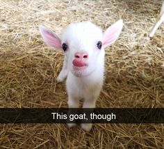 """21 Baby Animals Who Know How to Make Us Go """"Aww"""" funny captions funny humor funny memes animal funny Baby Farm Animals, Baby Animals Super Cute, Baby Animals Pictures, Cute Little Animals, Cute Animal Pictures, Cute Funny Animals, Wild Animals, Cute Animal Humor, Cute Goats"""