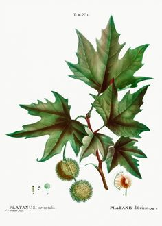 Plant Illustration, Botanical Illustration, London Plane Tree, Laurus Nobilis, Image Sites, Plant Drawing, Free Illustrations, Clematis, Leaf Design