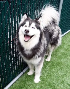 RETURN! OWNER SICK! RTO SAFE JAN (?) 2017! SUPER URGENT Manhattan Center SKY – A1102146  **RETURNED 04/19/2017**  SPAYED FEMALE, BLACK / WHITE, ALASK MALAMUTE MIX, 3 yrs OWNER SUR – AVAILABLE, HOLD RELEASED Reason OWNER SICK Intake condition UNSPECIFIE Intake Date 04/19/2017, From NY 10468, DueOut Date 04/19/2017,