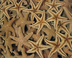 Hey, I found this really awesome Etsy listing at https://www.etsy.com/listing/74229538/natural-sugar-starfish-for-decor-crafts