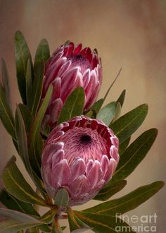 Pink Protea Proteaceae Flower Greeting Card for Sale by Leah-Anne Thompson Pink Protea flower by Lea