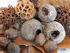 Wild nuts and seed pods - in lovely shades of earthy brown Organic Form, Seed Pods, Natural Forms, Planting Seeds, Botany, Mother Nature, Berries, Shapes, Inspiration