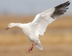 Snow Goose Little Birds, Love Birds, Beautiful Birds, Snow Goose Hunting, Duck Mount, Duck Art, Grey Goose, Big Bird, Coq