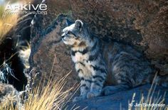 The Andean cat is considered to be one of the most endangered wild cats in the world and perhaps the rarest South American felid, and yet is...