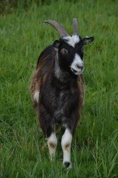 Dit is mijn geit Heineken. Ik heb 3 geitjes zij inspireren mij heel erg. De meesten mensen weten niet hoe intelligent geitjes zijn. Ik heb ze vanaf vanaf dat ze babygeitjes zijn. Ze zijn nu ongeveer 3 jaar. ze lopen op het land en in de winter gaan ze op stal bij mijn opa en oma. ik ben  elke dag bij ze. En ze zijn zo tam dat ze ook op schoot komen zitten en luisteren.