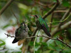 Foto besourinho-de-bico-vermelho (Chlorostilbon lucidus) por Marcus Copetti | Wiki Aves - A Enciclopédia das Aves do Brasil