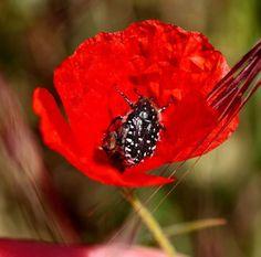 Amapolas, hermosas e invasivas, entre leyendas urbanas y propiedades benéficas. — Steemit Left Out, World, Urban Legends, Poppies, Sweetie Belle, Gardens, Plants, Flowers