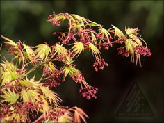 The thrill of spring! | The Amazing World of Conifers