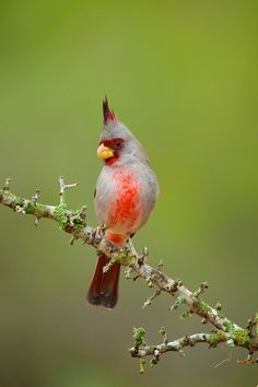 Male Pyrrhuloxia photographed near the Mexican/Texas border. A close relative to the Northern Cardinal. Photo by Brian Didrikson