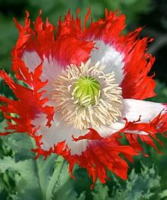 "Red and White Poppy: "".. And flesh doth feed the Flower of Flanders Fields."""