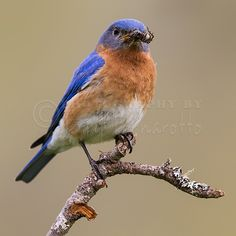 """Eastern Bluebird Perrched with Spider"" A male Eastern Bluebird displaying bright blue breeding plumage. This is a copyrighted photo. If you wish to purchase this photo or any other of my fine art prints, please visit my website at; http://jerryfornarotto.artistwebsites.com/  Watermark will be removed from all prints purchased."