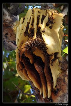 Honeybees created this wild hive in a big sycamore tree. This hive was over 1 ft. in diameter, over 3 ft. tall, and was attached to a large branch about 35 ft. from the ground. The bees lived in the hive for more than 6 years. Honey Bee Hives, Honey Bees, Wild Bees, Bee Swarm, Buzz Bee, I Love Bees, Bee Skep, Bees And Wasps, Bee Happy