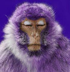Serene in his purpleness