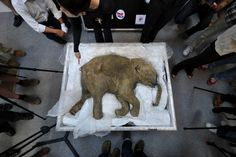 Individuals gather around Lyuba, the world's best-preserved baby mammoth carcass, on display at IFC Mall in Hong Kong. The carcass is 42,000 years old. Aaron Tam