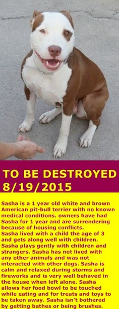 KILLED in Brooklyn Center My name is SASHA. My Animal ID # is A1047791. I am a female white and brown am pit bull ter mix. The shelter thinks I am about 1 YEAR I came in the shelter as a OWNER SUR on 08/13/2015 from NY 11433, owner surrender reason stated was MOVE2PRIVA.