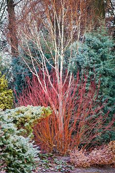 Winter Colour at Bressingham Gardens