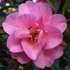 Camelia Monika Dance It's easy to find what you're looking for with our Plant A-Z, covering everything from Cornish plants to sub-tropical specimens that love mild climates.