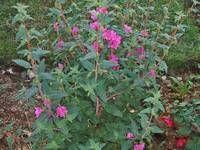 Safe - Clarkia (Godetia) Latin name : Clarkia spp. Tortoise Food, Turtle, Plants, Turtles, Tortoise, Plant, Planets