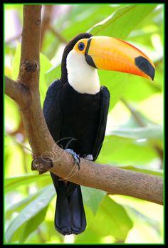 Toucan, love them Tropical Birds, Exotic Birds, Colorful Birds, Most Beautiful Birds, Pretty Birds, Animals Beautiful, Rainforest Birds, Animals And Pets, Cute Animals
