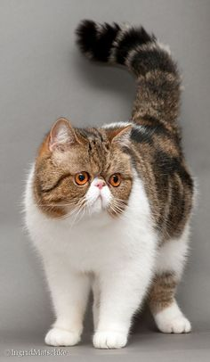 How lovely she is #fluffycatsbreedslonghair