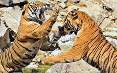 Dos tigresas miden sus fuerzas en el Ramthambhore National Park, al norte de la India (Aditya Singh, 2017)