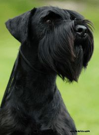standard schnauzer. I like them in black with floppy ears.    This is a beautiful dog! http://remarkabledogs.com/wp-content/uploads/2009/08/standard-schnauzer.gif