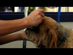 Dog Grooming : How to Groom a Lhasa Apso