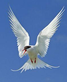 Afbeeldingsresultaat voor common tern totem