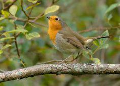 European Robin (Erithacus rubecula). This bird is known as the liepsnelė in Lithuania> http://en.wikipedia.org/wiki/European_Robin