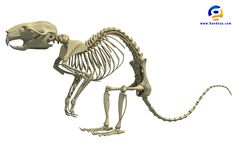 rat-skeleton-01.jpg (2000×1228)