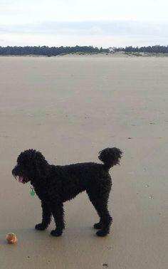 Holkham Beach, Norfolk UK 20151020 British Seaside, Australian Labradoodle, Norfolk, Beach, Seaside