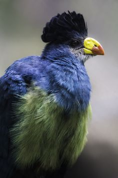 Blue Blood | A Great Blue Turaco | by Paul E.M.