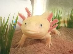 What Are Axolotls and Why Am I Suddenly Obsessed?