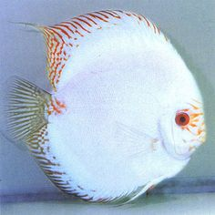 White Discus Fish | Common Name: White Butterfly Discus, Discus