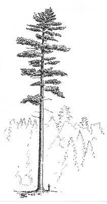 WhitePine-Pen-12-02w.jpg (211×400)