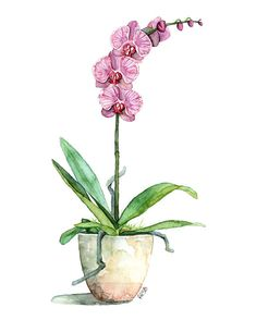 Watercolor Orchid Painting Print titled Fuchsia